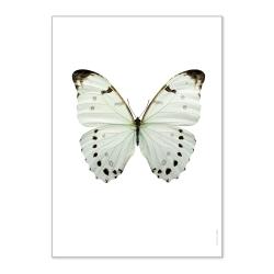Affiche Entomologique Liljebergs - Poster Papillon blanc lune - Illustration Morpho Luna - Boutique Les inutiles
