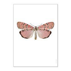 Affiche Entomologique Liljebergs - Poster Papillon rose saumon - Illustration Utetheisa Ornatrix Bella - Boutique Les inutiles