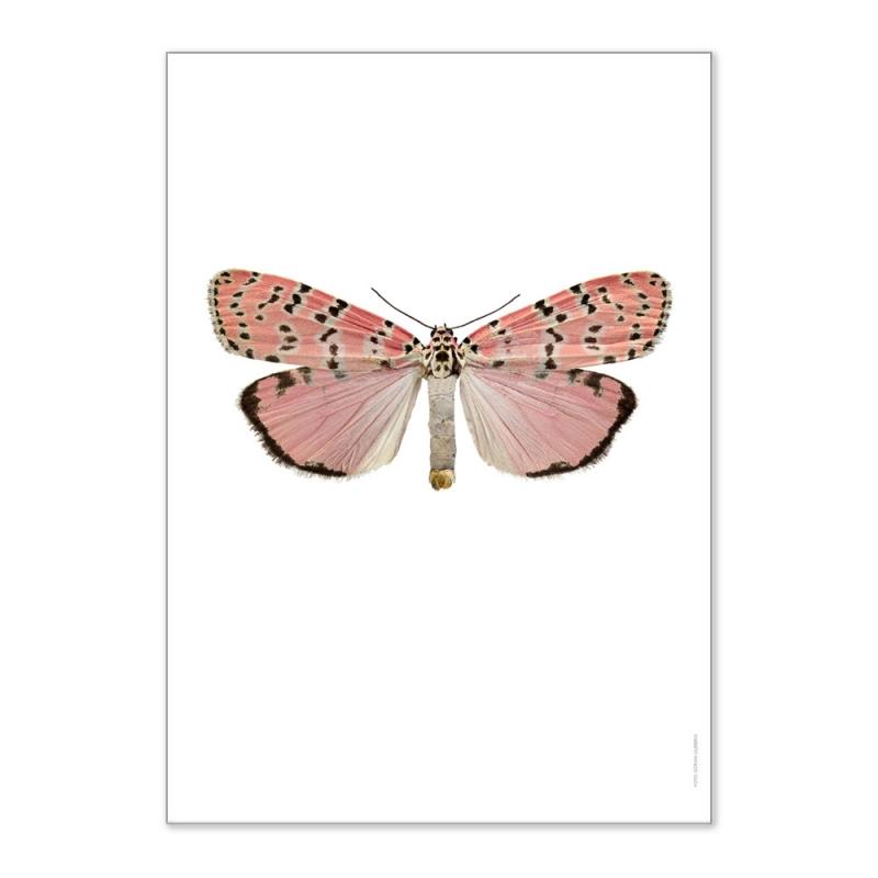 Affiche Entomologique Liljebergs - Poster Papillon rose saumon - Illustration Utetheisa Ornatrix Bella - Boutique Les inutiles