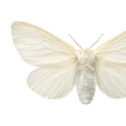 Affiche Entomologique Liljebergs - Poster Papillon blanc - Illustration macro Leucoma Salicis - Boutique Les inutiles