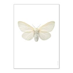 Affiche Entomologique Liljebergs - Poster Papillon blanc - Illustration Leucoma Salicis - Boutique Les inutiles