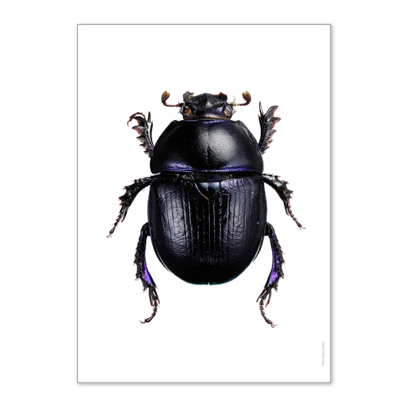 Affiche Scarabée Liljebergs - Poster insecte - Illustration Anoplotrupes Stercorosus - Boutique Les inutiles