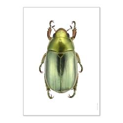 Affiche Scarabée Liljebergs - Chrysina Strasseni - macro photographie insecte - Boutique Les inutiles
