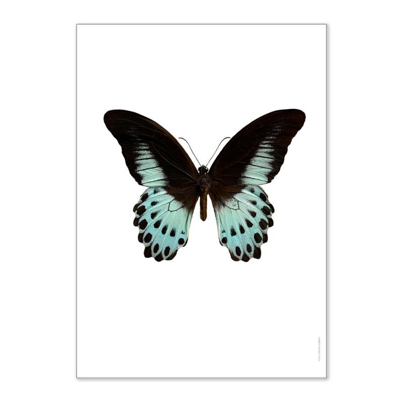 Affiche Papillon Liljebergs - Poster Entomologique Papillon Bleu et noir - Papilio Polymnestor - Boutique Les inutiles