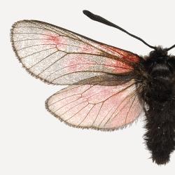 Détail Affiche Entomologique Liljebergs - Poster Papillon rose et Scarabée noir - Boutique Les inutiles