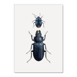 Affiche Entomologique Liljebergs - Poster de deux coléoptères noirs - Boutique Les inutiles