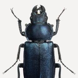 Détails Affiche Entomologique Liljebergs - Poster de deux coléoptères noirs - Boutique Les inutiles