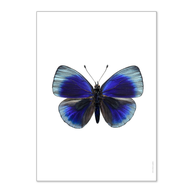 Affiche Entomologique Liljebergs - Poster Papillon bleu électrique - Illustration Asterope Leprieuri - Boutique Les inutiles
