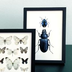 Affiche Entomologique Liljebergs Encadrée - Poster de deux coléoptères - cadre noir - Boutique Les inutiles