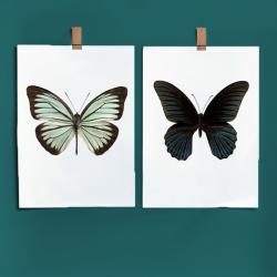 Affiche Entomologique Liljebergs - Poster Papillon Turquoise et noir - Illustration Pareronia Valeria Lutescens - Les inutiles