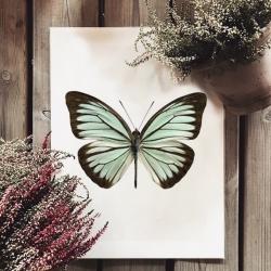 Affiche Entomologique Liljebergs - Poster Papillon Turquoise - Illustration Pareronia Valeria Lutescens - Boutique Les inutiles