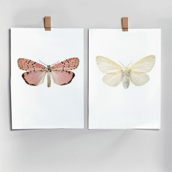 Affiche Insectes Liljebergs - Poster Papillon blanc et rose - Illustration Leucoma Salicis - Les inutiles