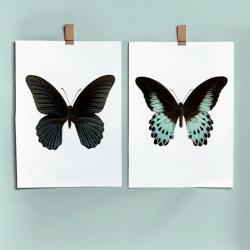 Affiche Entomologique Liljebergs - Poster Papillon Bleu et noir - Papilio Polymnestor - Boutique Les inutiles