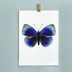 Grande Affiche Entomologique Liljebergs - Poster Papillon bleu électrique - Illustration Asterope Leprieuri - Les inutiles