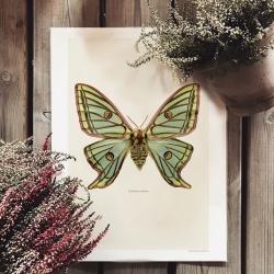 Affiche Entomologique Liljebergs - Poster Papillon Vert - Illustration Graellsia isabellae - Boutique Les inutiles