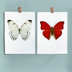Affiches Entomologiques Liljebergs - Photo insectes Papillon blanc et rouge - Illustration Morpho Luna - Les inutiles