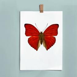Affiche Entomologique Liljebergs - Poster Papillon Rouge Sanguin - Illustration Cymothoe Sangaris - Boutique Les inutiles