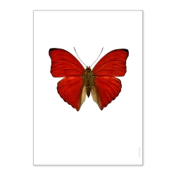 Affiche Entomologique Liljebergs - Poster Papillon Rouge - Illustration Cymothoe Sangaris - Boutique Les inutiles