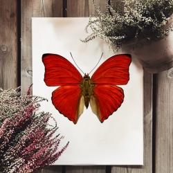 Affiche Entomologique Liljebergs Insectes - Poster Papillon Rouge vif - Illustration Cymothoe Sangaris - Boutique Les inutiles