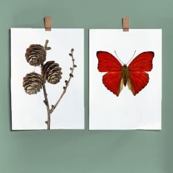 Affiche Entomologique  et Botanique Liljebergs - Poster Papillon Rouge et branche de Pin - Illustration Cymothoe - Les inutiles