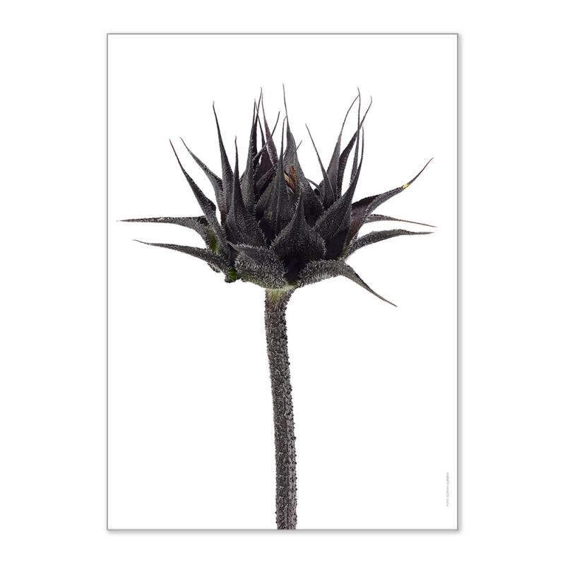 Affiche Liljebergs Sunflower Bud - Poster Botanique Bouton de Tournesol - macro photographie - Boutique Les inutiles