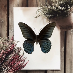 Affiche Entomologique Liljebergs - Macro photo Papillon noir - Illustration Papilio Memnon - Boutique Les inutiles